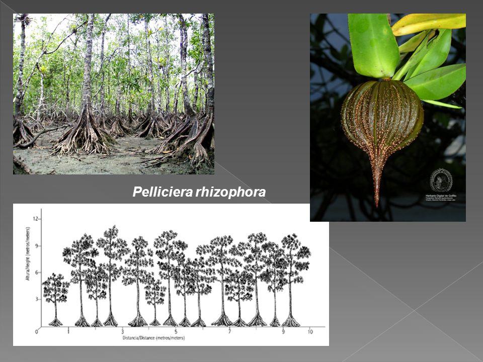 Pelliciera rhizophora