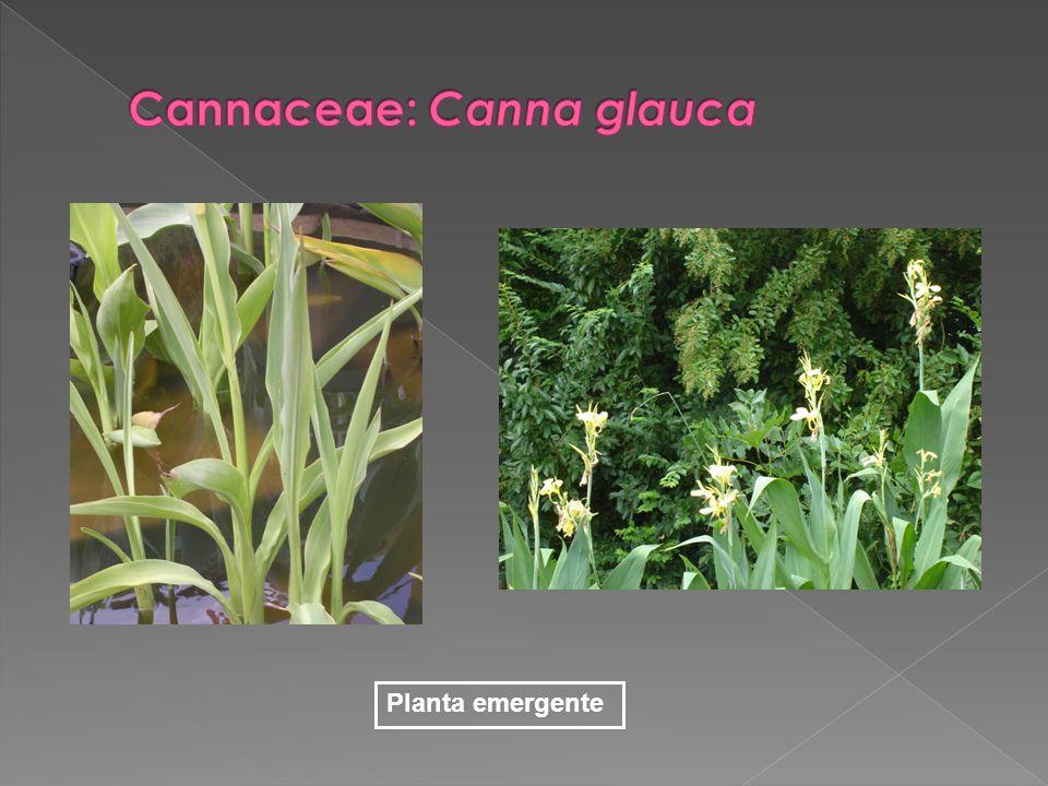 Cannaceae: Canna glauca