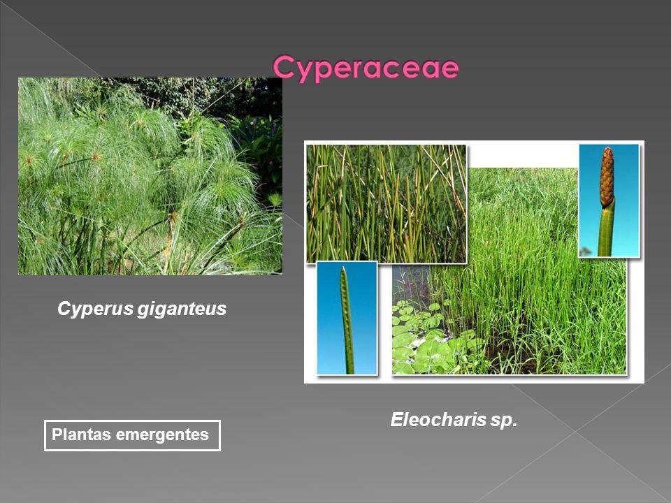 Cyperaceae Cyperus giganteus Eleocharis sp. Plantas emergentes
