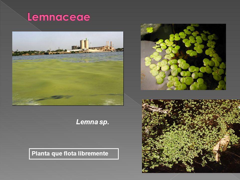 Lemnaceae Lemna sp. Planta que flota libremente