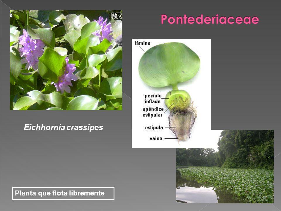 Pontederiaceae Eichhornia crassipes Planta que flota libremente