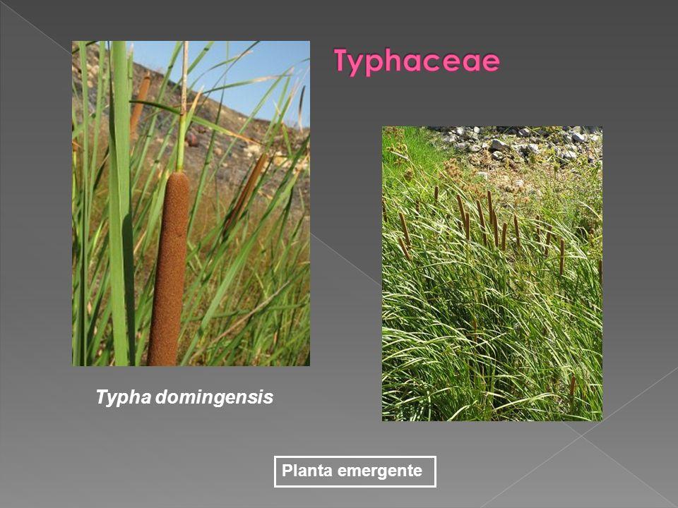 Typhaceae Typha domingensis Planta emergente