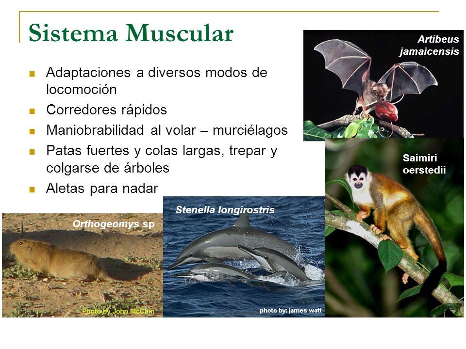 Sistema Muscular Adaptaciones a diversos modos de locomoción