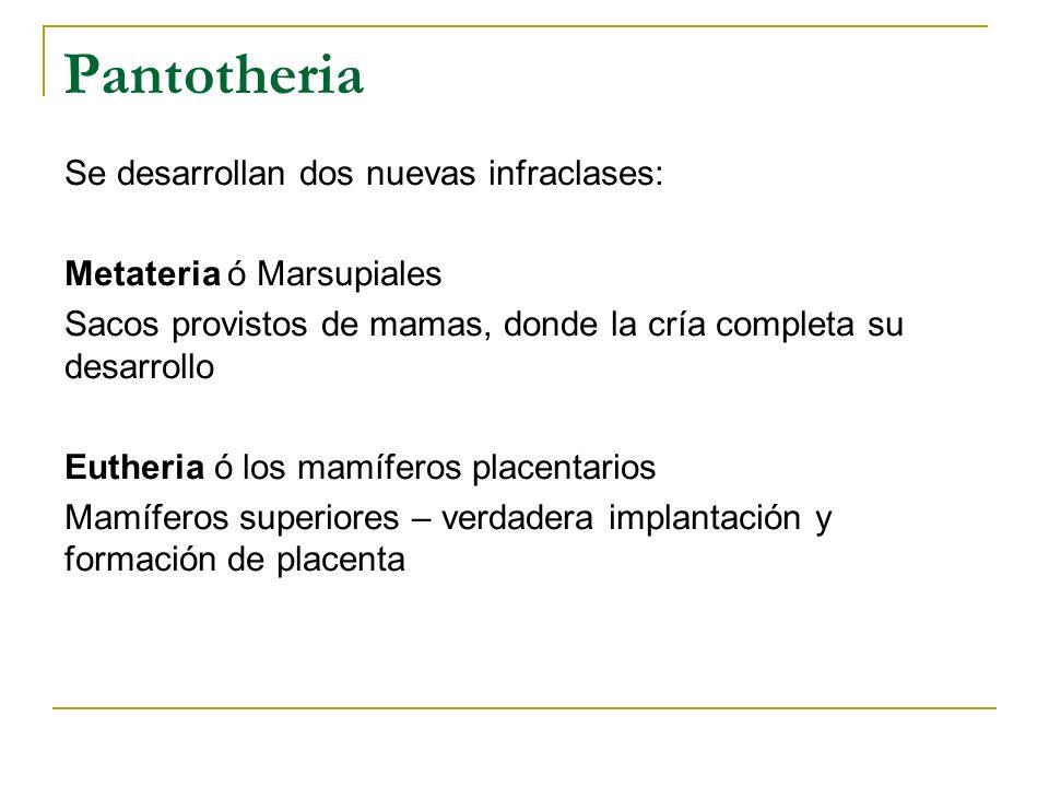 Pantotheria Se desarrollan dos nuevas infraclases: