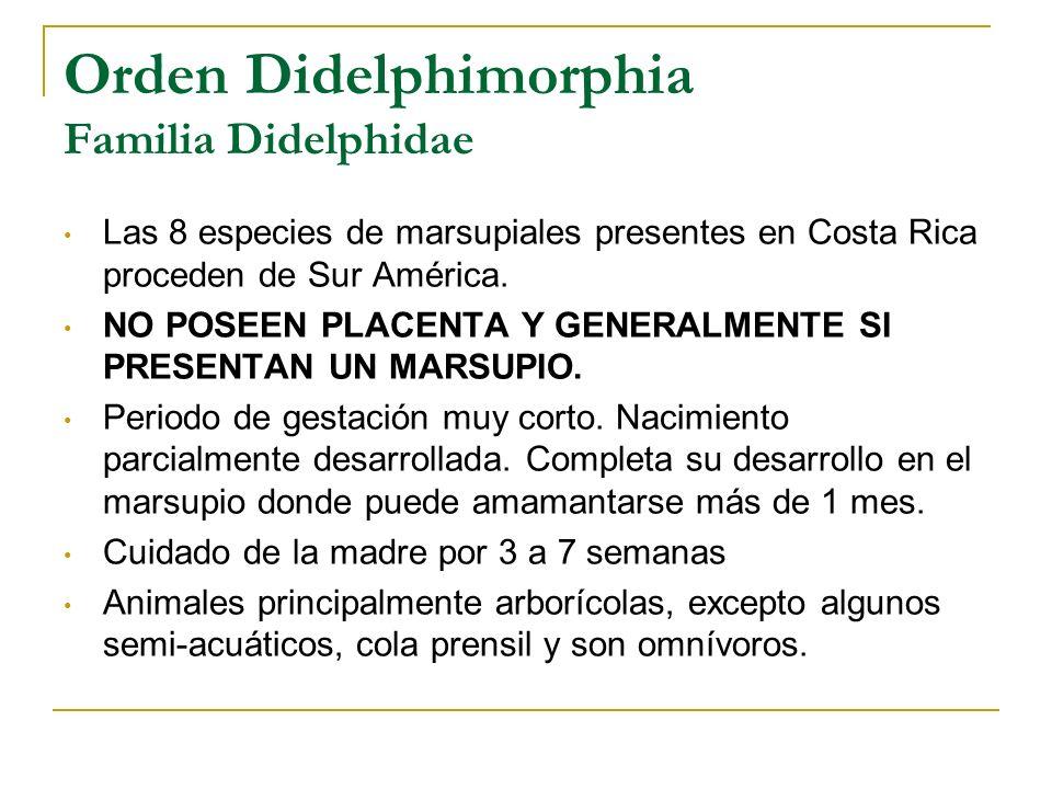 Orden Didelphimorphia Familia Didelphidae