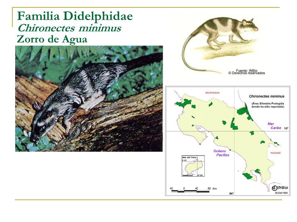 Familia Didelphidae Chironectes minimus Zorro de Agua