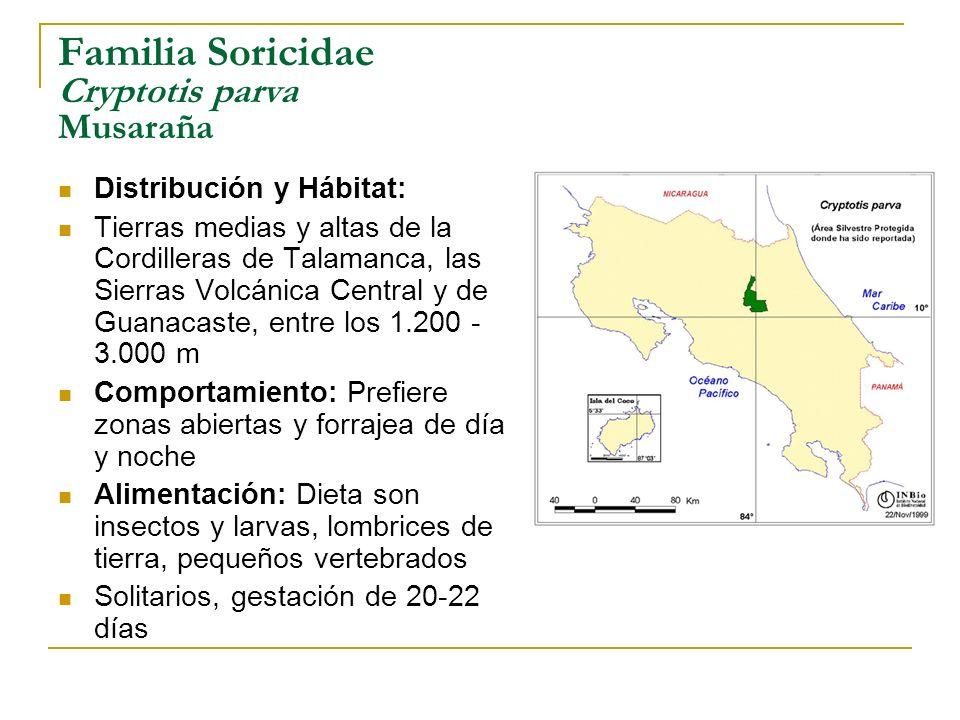Familia Soricidae Cryptotis parva Musaraña