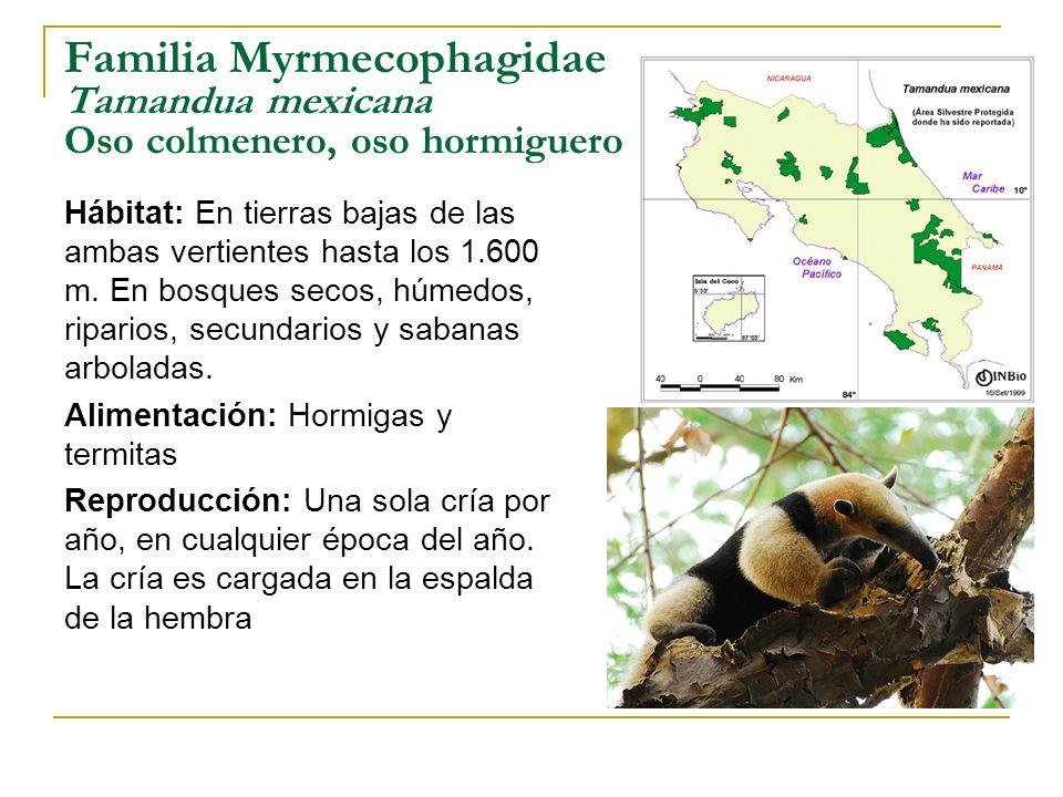 Familia Myrmecophagidae Tamandua mexicana Oso colmenero, oso hormiguero