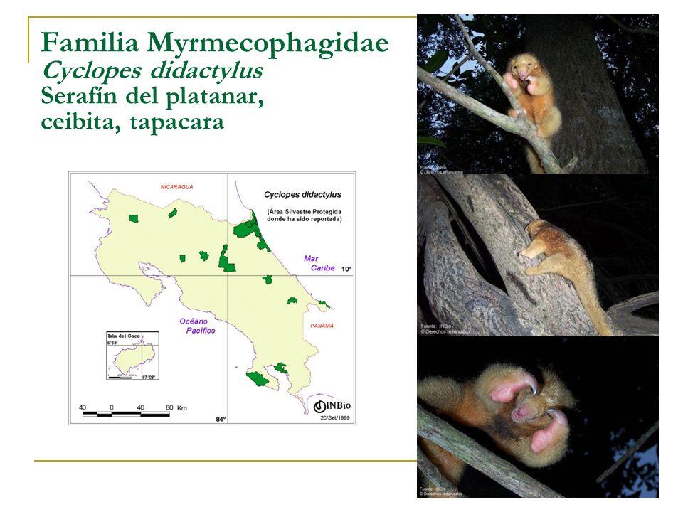 Familia Myrmecophagidae Cyclopes didactylus Serafín del platanar, ceibita, tapacara
