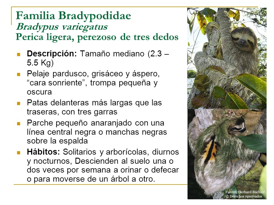 Familia Bradypodidae Bradypus variegatus Perica ligera, perezoso de tres dedos