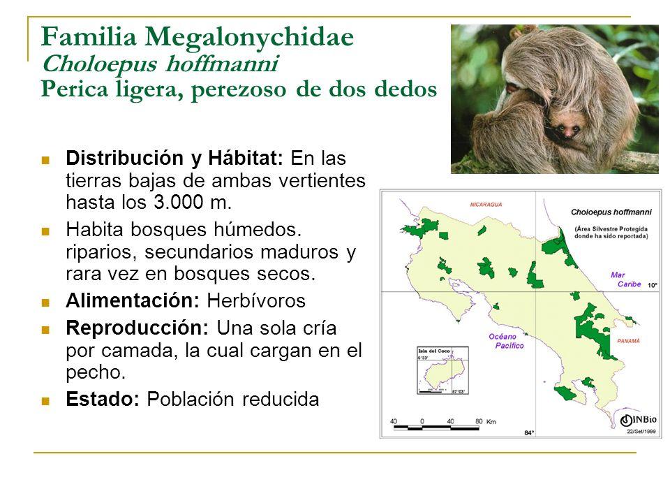Familia Megalonychidae Choloepus hoffmanni Perica ligera, perezoso de dos dedos