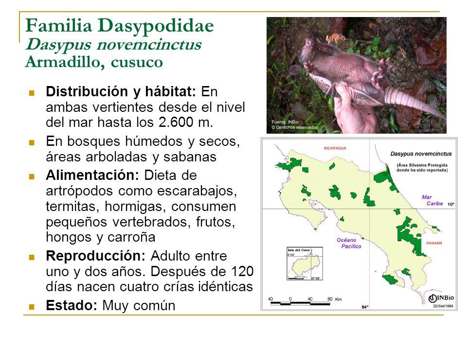 Familia Dasypodidae Dasypus novemcinctus Armadillo, cusuco
