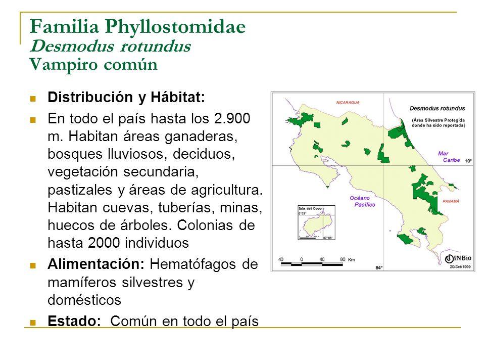 Familia Phyllostomidae Desmodus rotundus Vampiro común