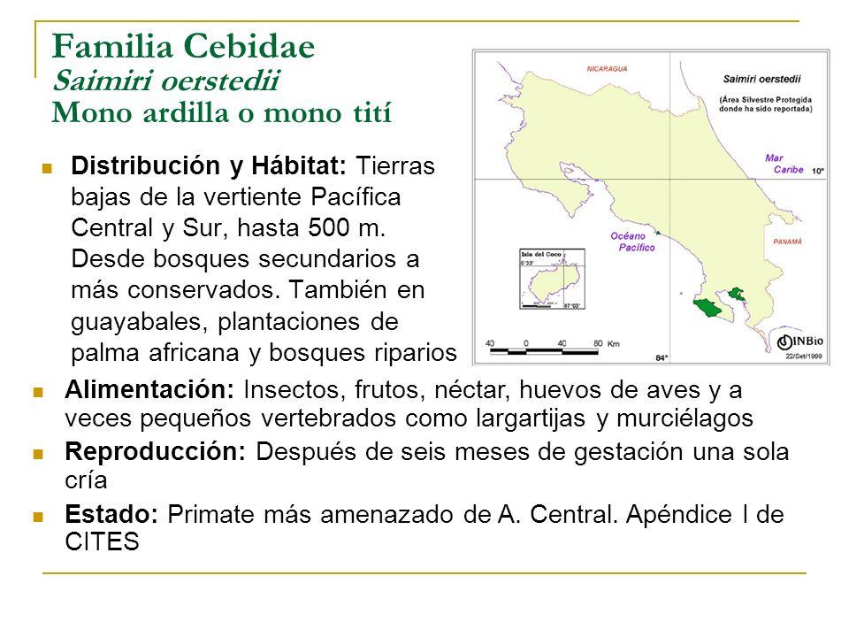 Familia Cebidae Saimiri oerstedii Mono ardilla o mono tití