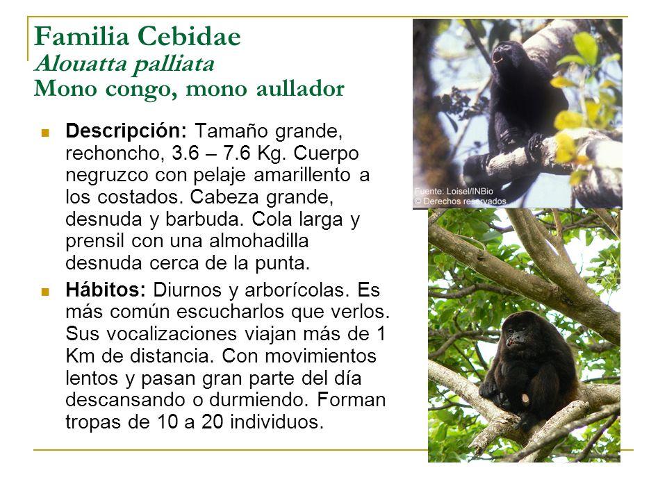 Familia Cebidae Alouatta palliata Mono congo, mono aullador
