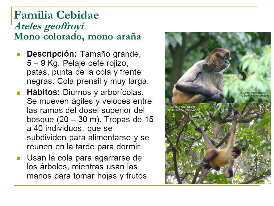 Familia Cebidae Ateles geoffroyi Mono colorado, mono araña