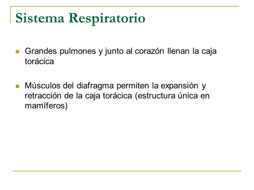 Sistema Respiratorio Grandes pulmones y junto al corazón llenan la caja torácica.