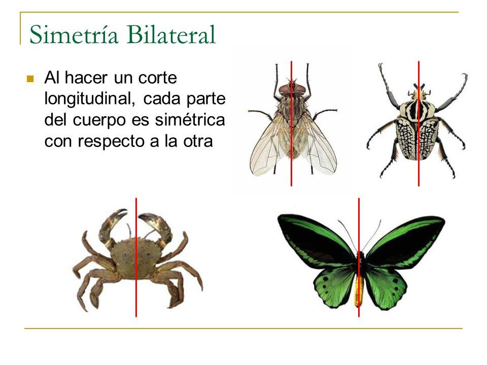 Simetría Bilateral Al hacer un corte longitudinal, cada parte del cuerpo es simétrica con respecto a la otra.