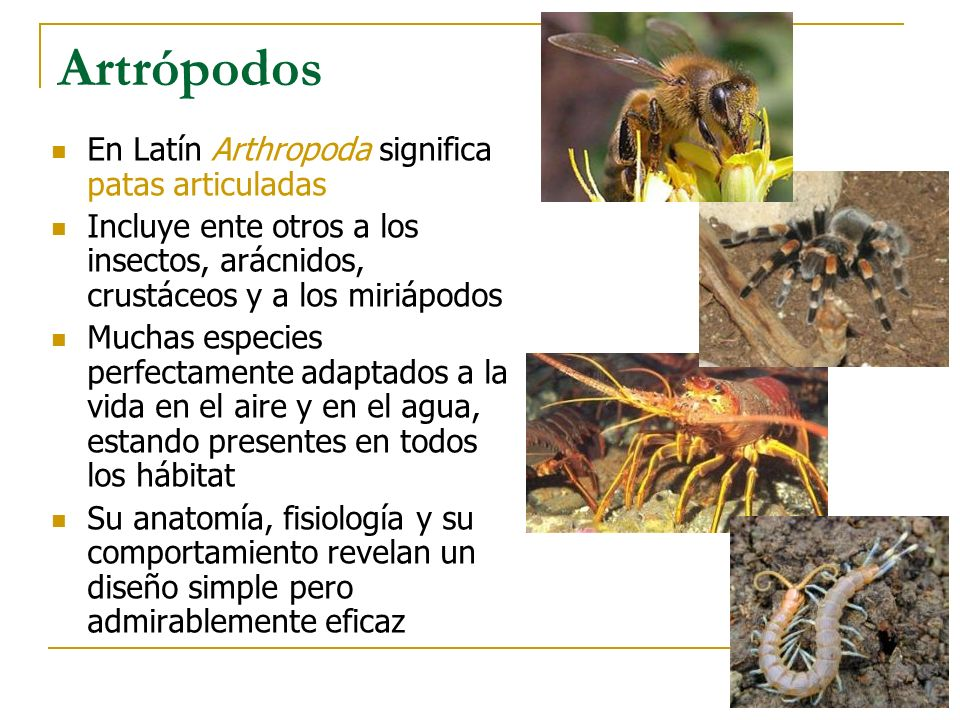 Artrópodos En Latín Arthropoda significa patas articuladas