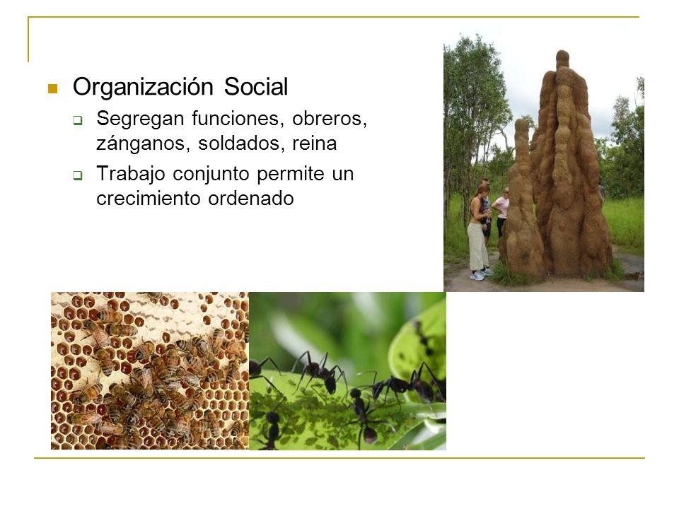 Organización Social Segregan funciones, obreros, zánganos, soldados, reina.