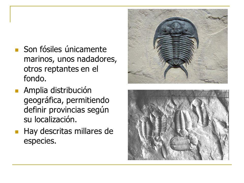 Son fósiles únicamente marinos, unos nadadores, otros reptantes en el fondo.