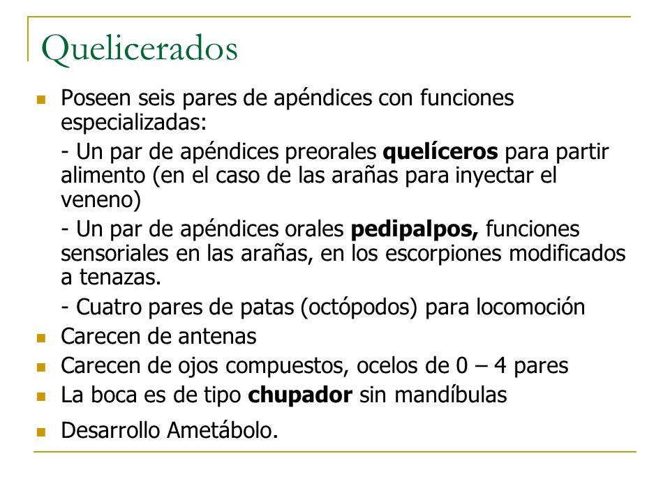 Quelicerados Poseen seis pares de apéndices con funciones especializadas: