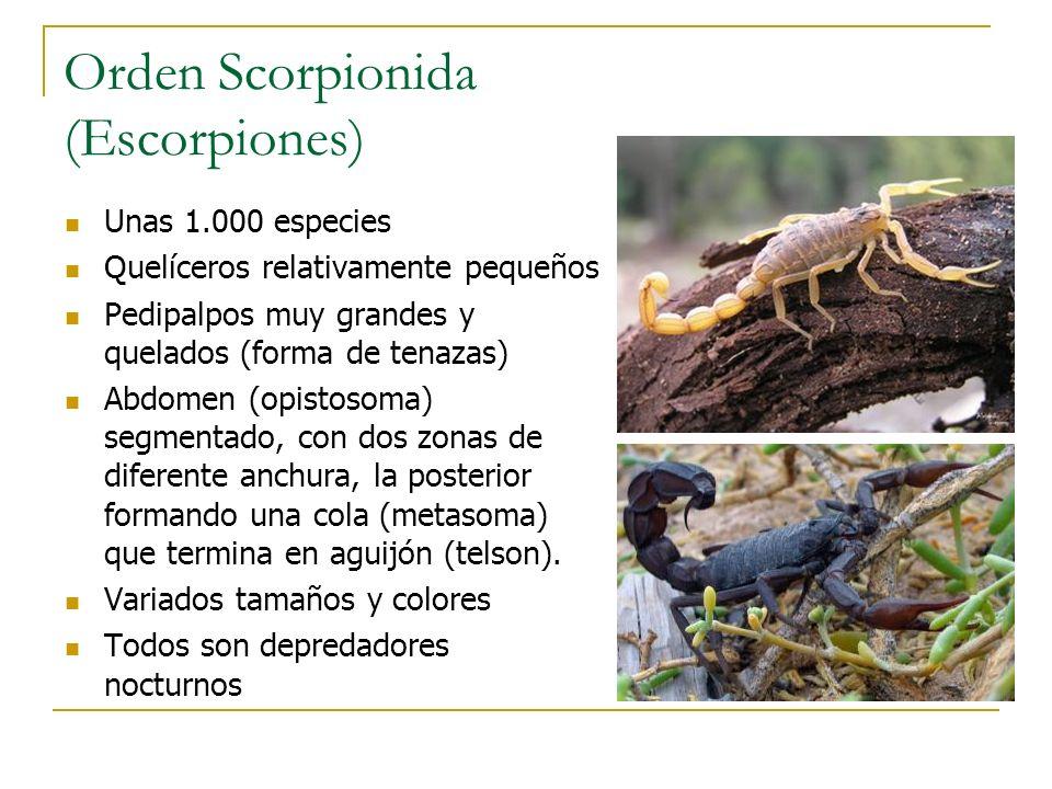 Orden Scorpionida (Escorpiones)