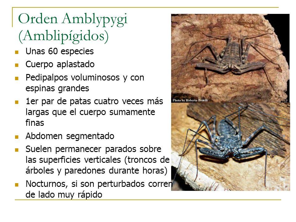 Orden Amblypygi (Amblipígidos)