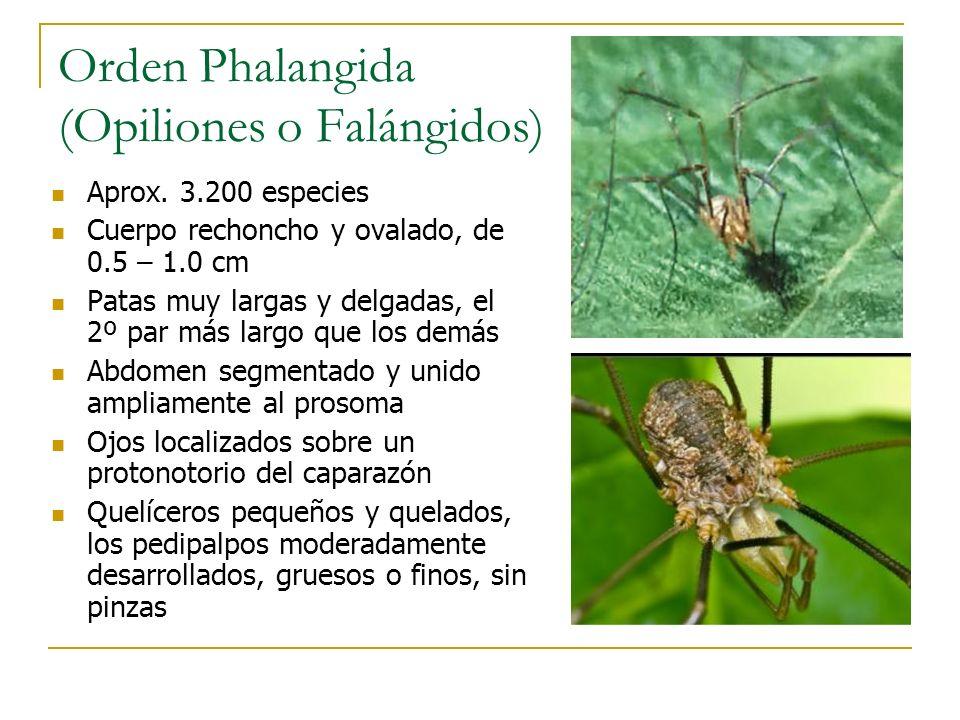 Orden Phalangida (Opiliones o Falángidos)