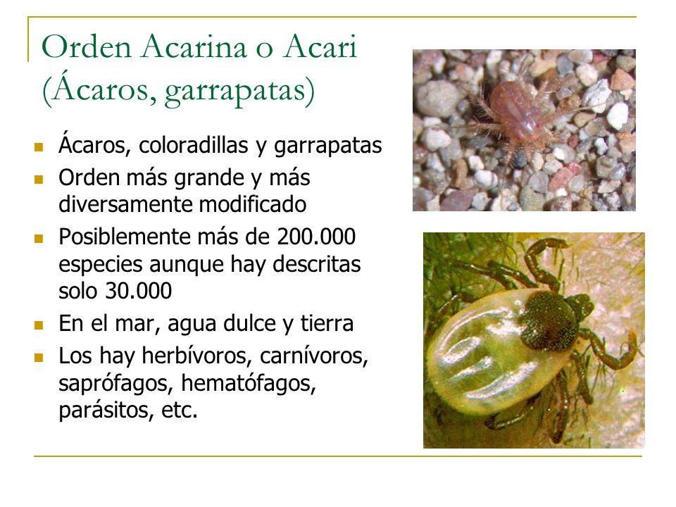 Orden Acarina o Acari (Ácaros, garrapatas)