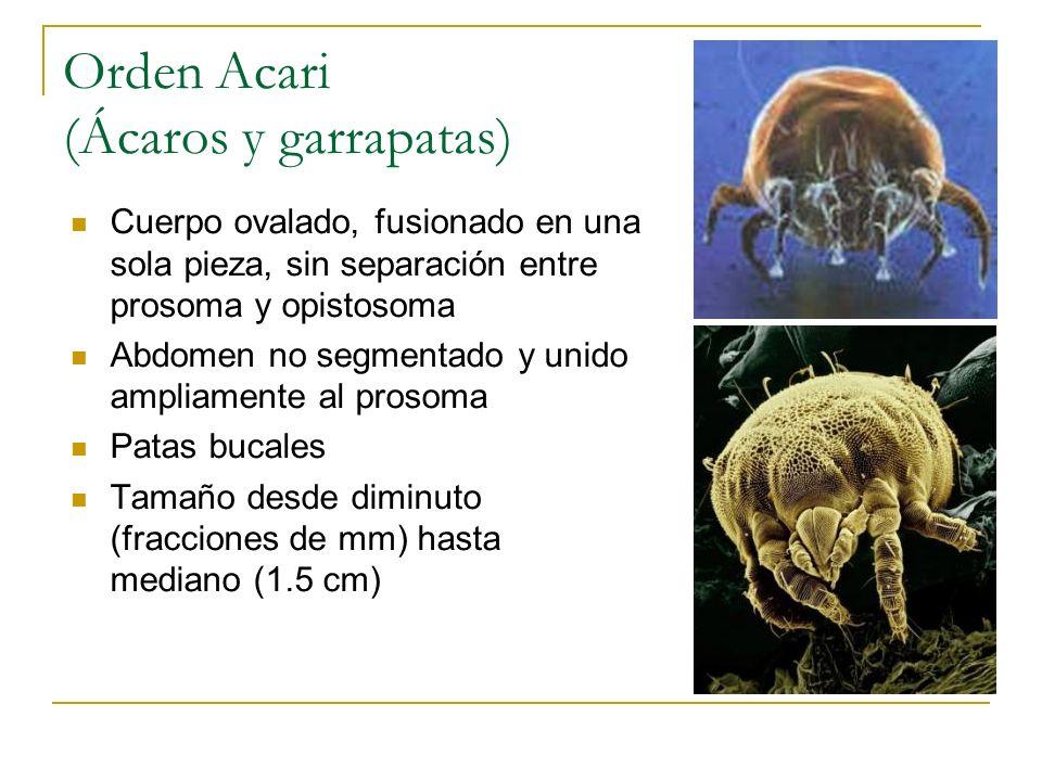 Orden Acari (Ácaros y garrapatas)