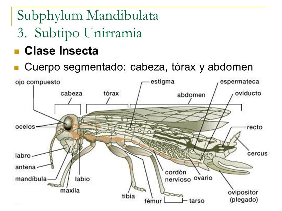 Subphylum Mandibulata 3. Subtipo Unirramia