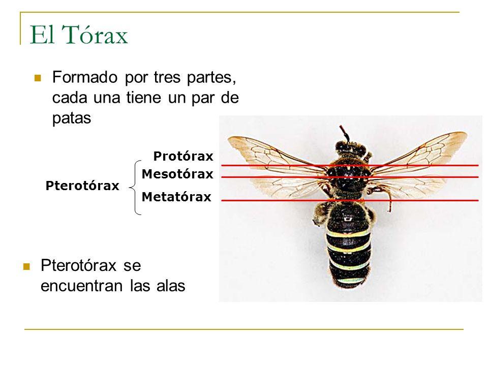 El Tórax Formado por tres partes, cada una tiene un par de patas