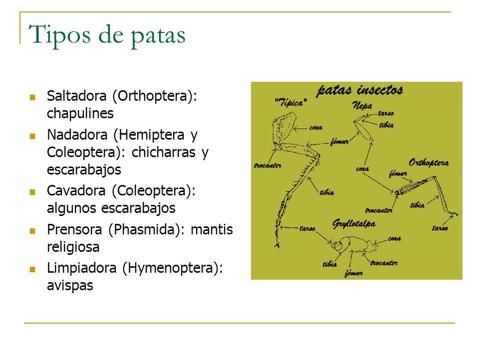 Tipos de patas Saltadora (Orthoptera): chapulines