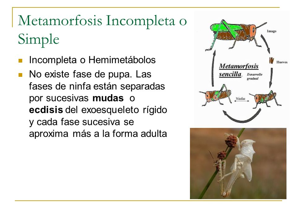 Metamorfosis Incompleta o Simple