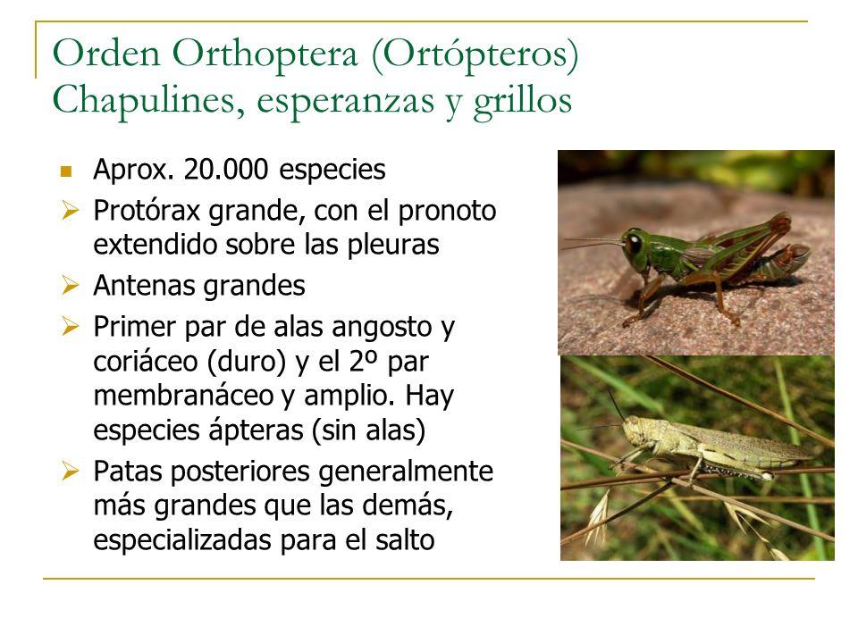 Orden Orthoptera (Ortópteros) Chapulines, esperanzas y grillos