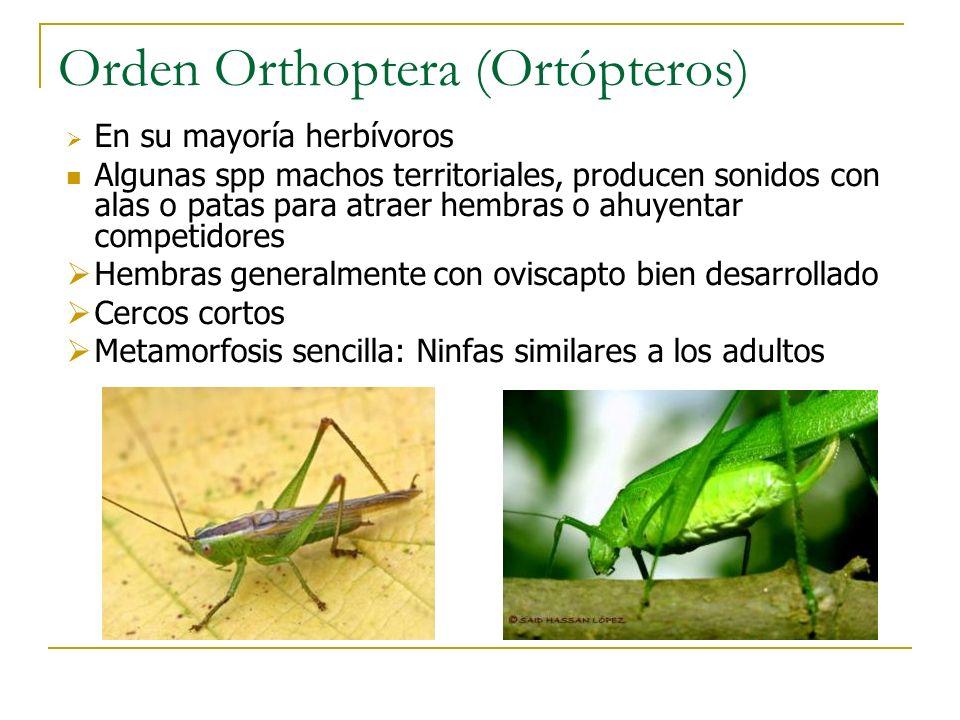 Orden Orthoptera (Ortópteros)