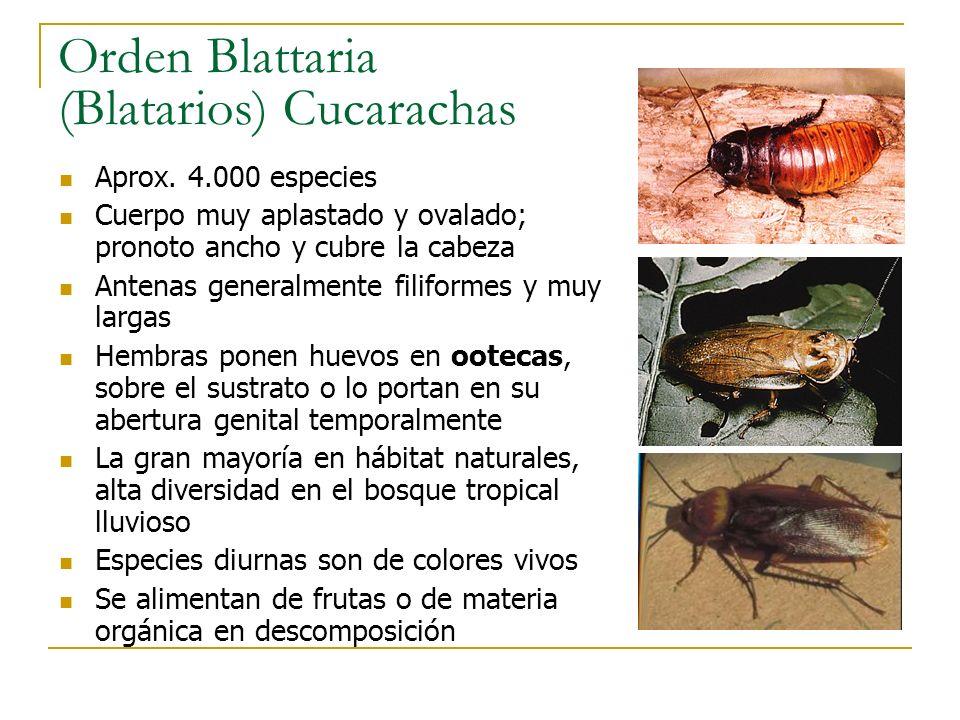 Orden Blattaria (Blatarios) Cucarachas