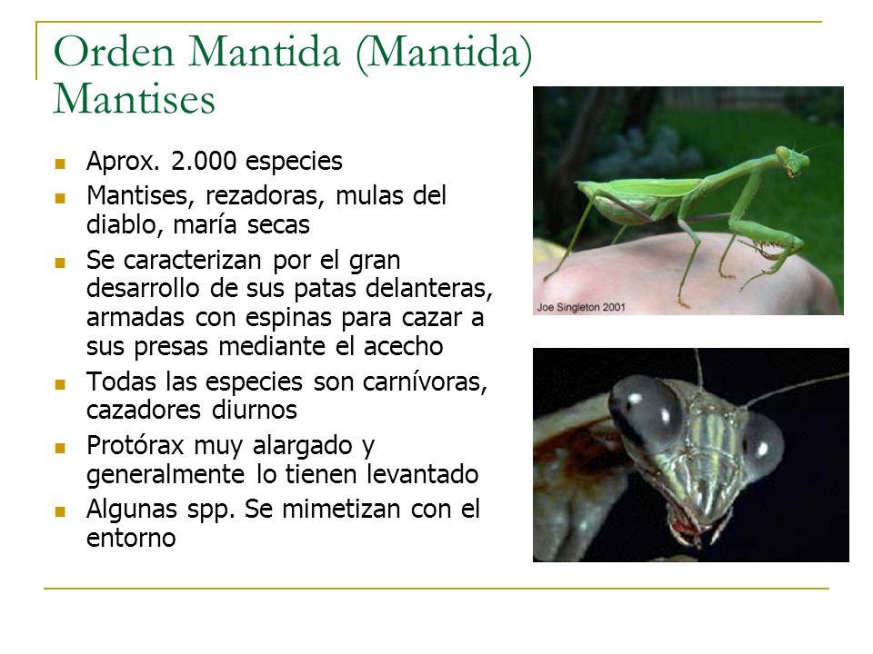 Orden Mantida (Mantida) Mantises