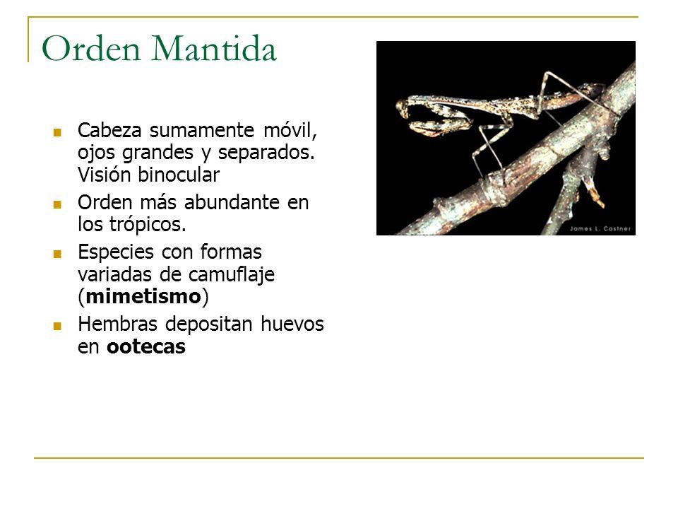Orden Mantida Cabeza sumamente móvil, ojos grandes y separados. Visión binocular. Orden más abundante en los trópicos.