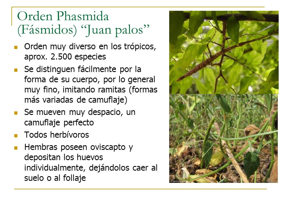 Orden Phasmida (Fásmidos) Juan palos