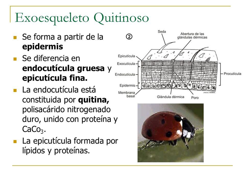 Exoesqueleto Quitinoso