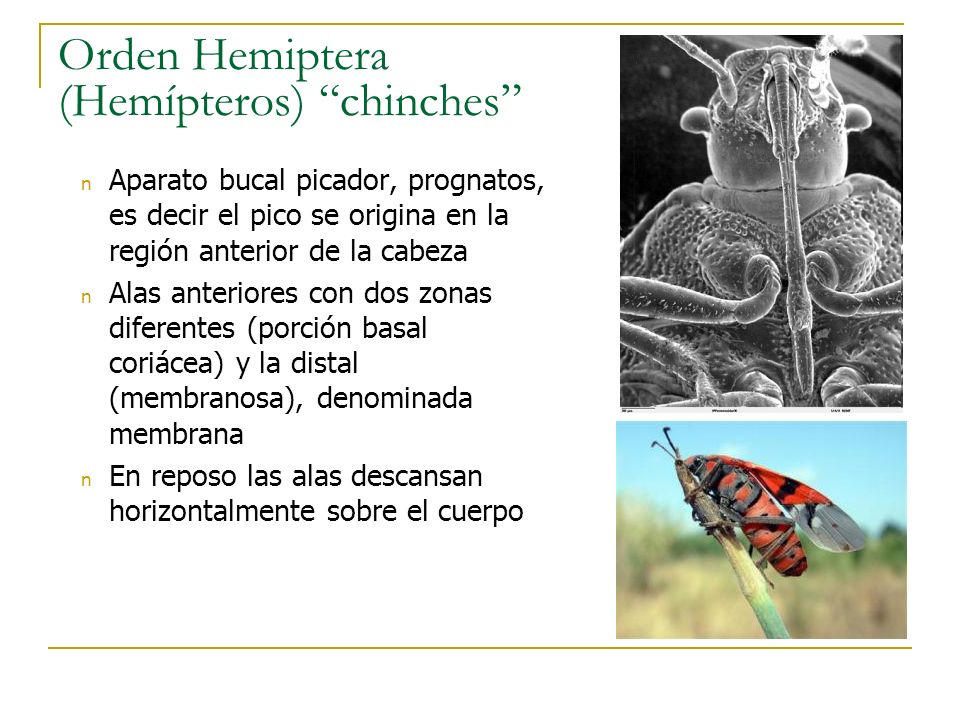 Orden Hemiptera (Hemípteros) chinches