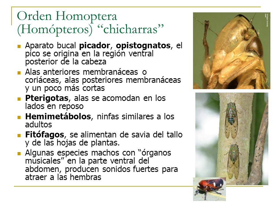 Orden Homoptera (Homópteros) chicharras