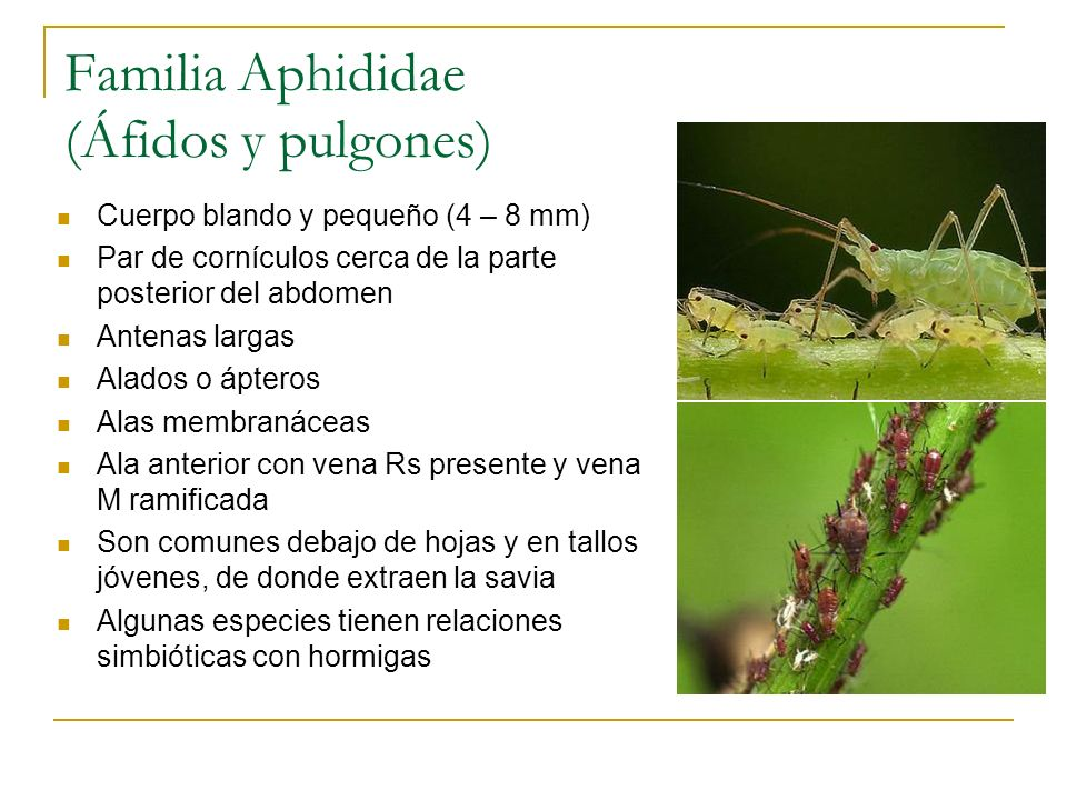 Familia Aphididae (Áfidos y pulgones)