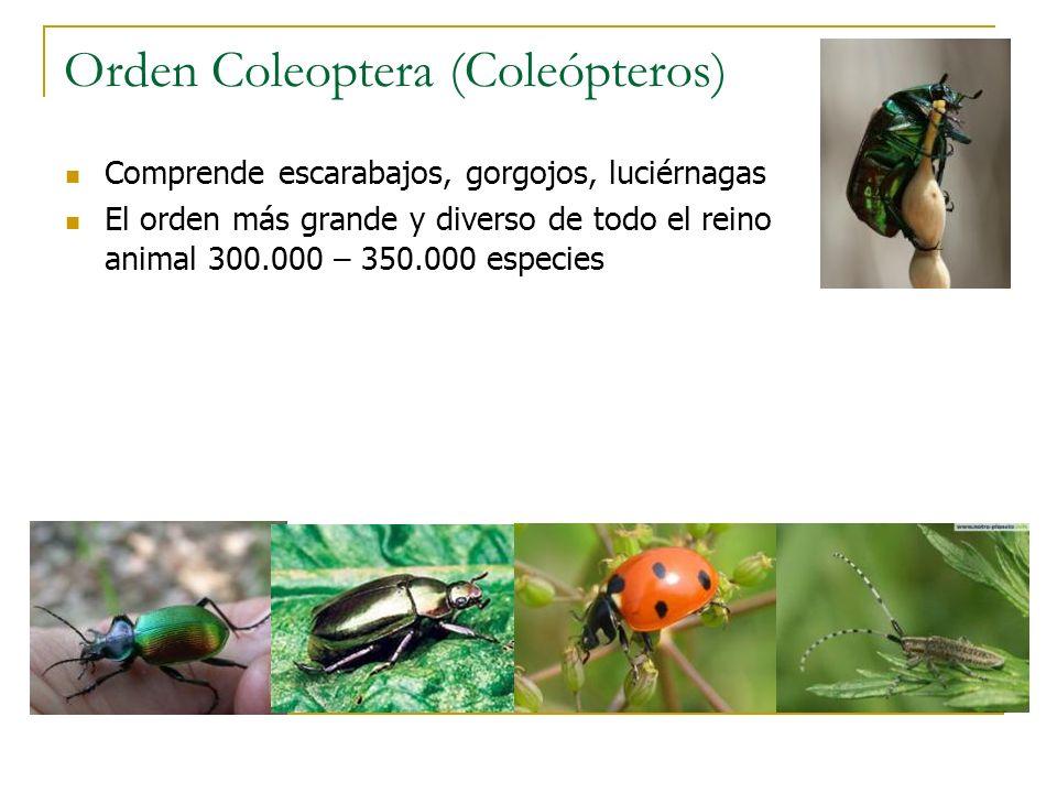 Orden Coleoptera (Coleópteros)
