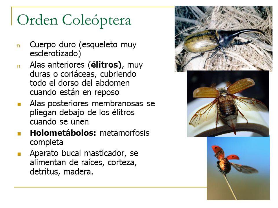 Orden Coleóptera Cuerpo duro (esqueleto muy esclerotizado)