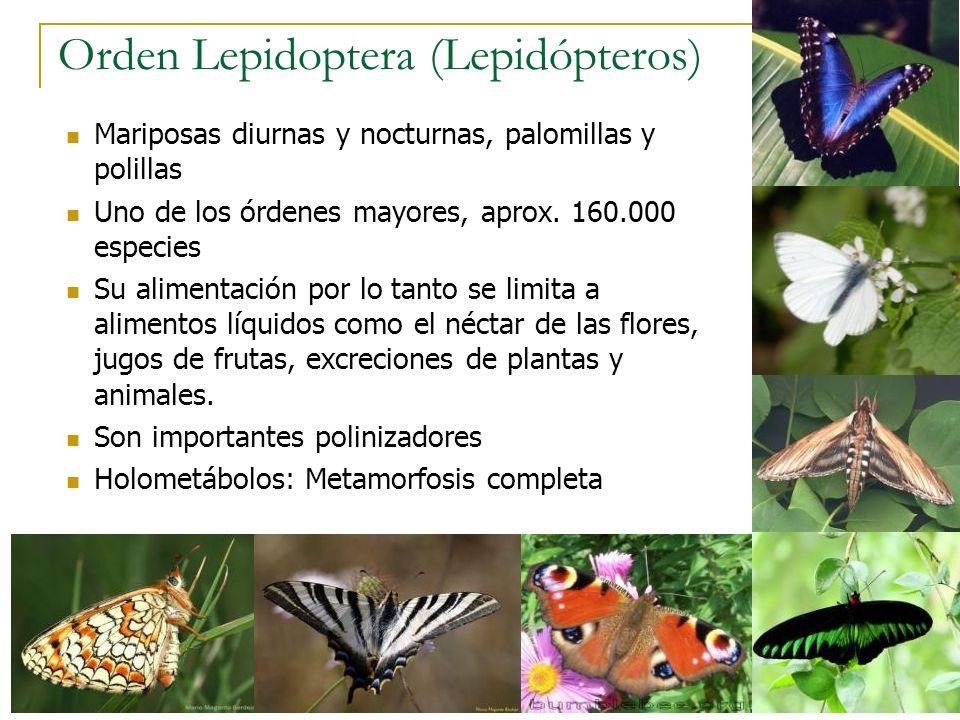 Orden Lepidoptera (Lepidópteros)