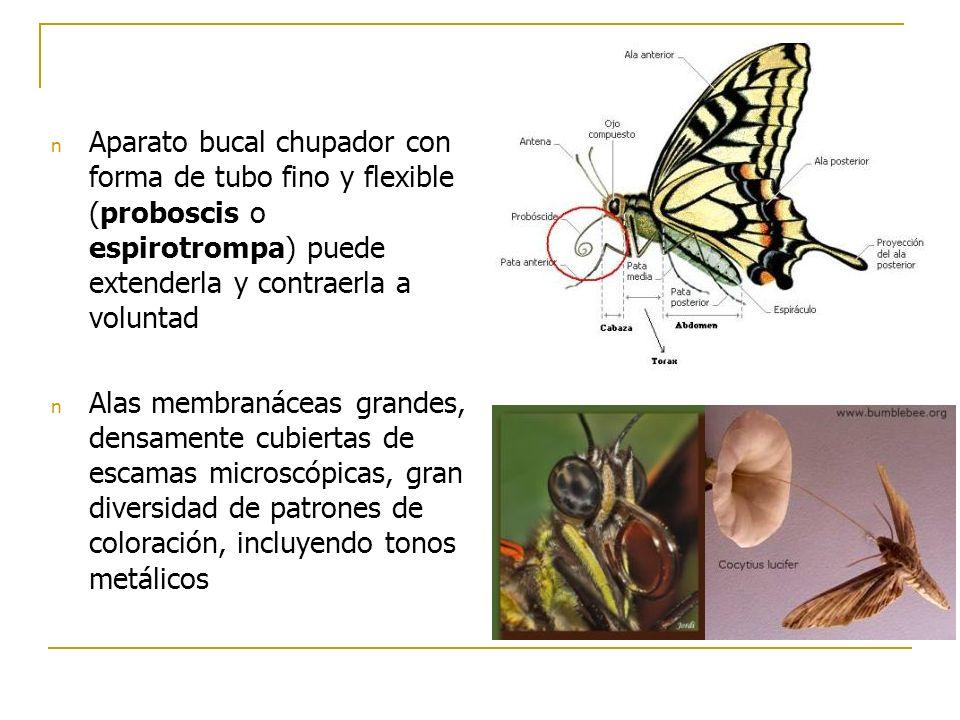 Aparato bucal chupador con forma de tubo fino y flexible (proboscis o espirotrompa) puede extenderla y contraerla a voluntad
