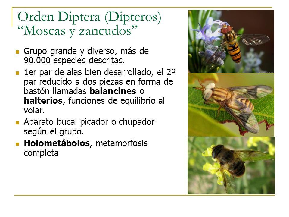 Orden Diptera (Dipteros) Moscas y zancudos